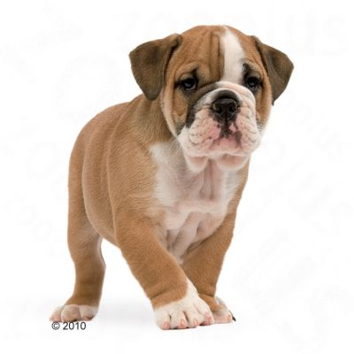 royal canin breed bulldog junior animalerie 100 discount. Black Bedroom Furniture Sets. Home Design Ideas