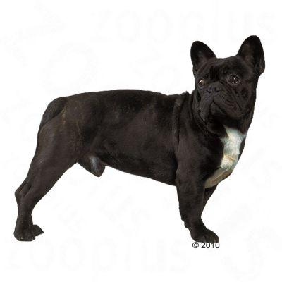 Royal Canin Bulldog Francés Adult