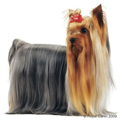 Best Food For Yorkshire Terrier Uk